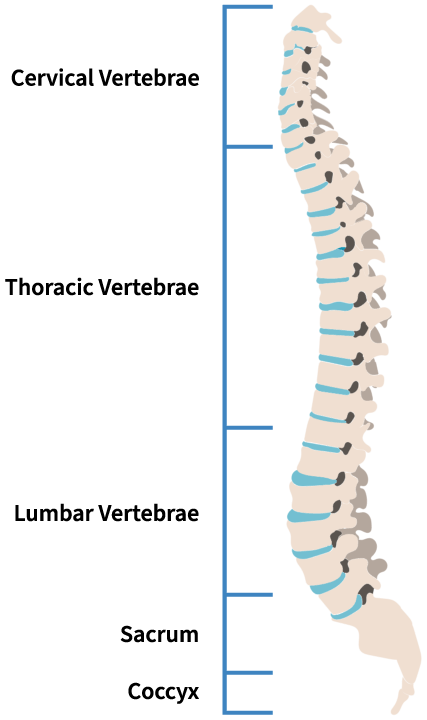 Spine Levels